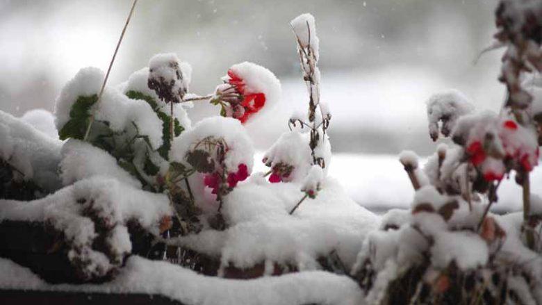 Vetëm disa lule lulëzojnë dimrit, këto madje edhe nën borë!